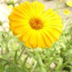 太陽のハーブ「カレンデュラ」